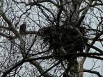 The neighborhood Bald Eagle