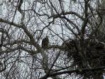 Neighborhood American Bald Eagle.