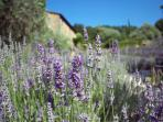 Section of lavender field surrounding house