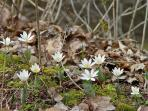 April thru May- Wildflowers: Bloodroot