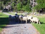 Sheep in the paddock