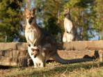 Wallabies look forward to their morning and afternoon feeds