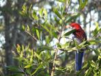 Crimson Rosellas are frequent visitors to our cottages