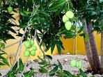 Zijn de mango's rijp? Eet ze gerust; ze zijn heerlijk zoet.