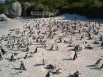 The famous Penguin Colony at Boulders Beach in Simonstown. Be careful they do bite