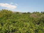 VKrini, view Citrus 'green sea'!
