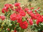 Red roses near the fruits area