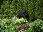 Bear in our garden in June 2011