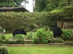 Bears in our garden in June 2011