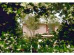 Dew Drop Inn II From Inside Jasmine Heart in April/May Bloom