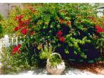 Bouganvillia in Bloom At Cottage Pathway