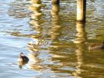 Coots by the dock