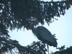 Great blue heron through the window