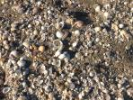 The surf leaves lots of sea shells all along our coastline which makes for great shell collecting