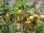 Fruit on the farm