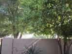 Lemon Tree on patio