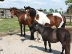 Our ponies Gammon, Ginger and Baffy