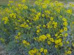 Yellow brittle bush in the Spring