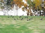 Flock of Canada Geese by Lake Champlain shoreline