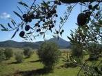 Local Olive Farm