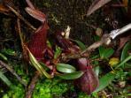 Activity: pitcher plants