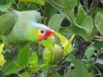 Parrot in Orange tree