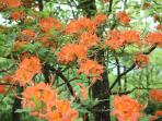 Wild Azaleas are visable from the porch in spring
