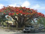 Flambouyon tree in neighborhood
