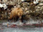 Alaskan brown bear getting lunch. We can offer a recommendation of who to go with to see these!