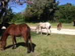 Horses roam the island of Vieques