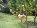 behind the villa are fruit trees