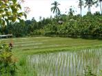 Already growing rice