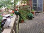 King parrots and kookaburra enjoying the patio