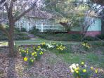 Early Spring Blooming Daffodils at The Cottage