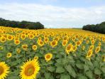 Gascony sunflowers (tournesol)