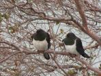 Local wood pigeons