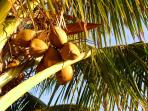 Coconuts on property