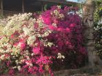 Bougainvialle in Paia