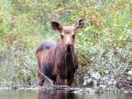 Moose sightings-A favorite pastime of our guests