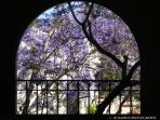 Jacaranda Window