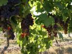 Vineyards all around  Hunter Moon