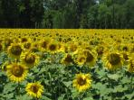 One of many sunflower fields in the area