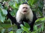 Three species of monkey - including this white faced capuchin can be viewed from the home