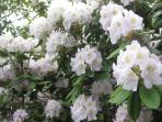 Flowering trees on Property: Rhododendron
