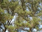 Carolina Pines all around