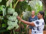 Banana Trees in the garden