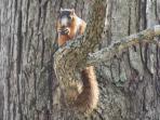 A Fox Squirrel Enjoys Sitting in a Tree