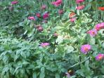 Basil and Zinnias in the Garden