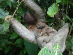 Sloth hanging outside master bedroom window.