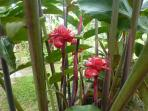 Torch ginger is among many other exotic plants in our grounds.